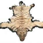 A Tiger skin - head in good order and claws still intact