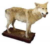 antique taxidermy wolf